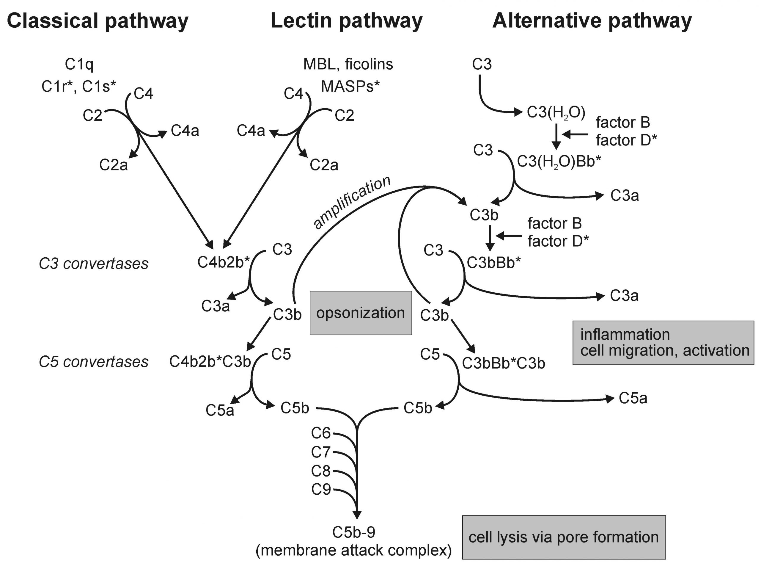 The Complement Pathway