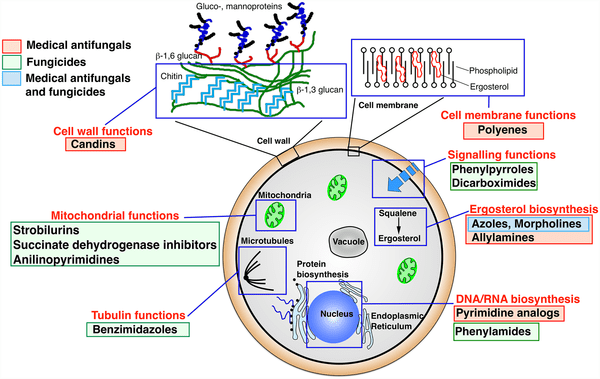Mode of Action of Antifungal Drugs