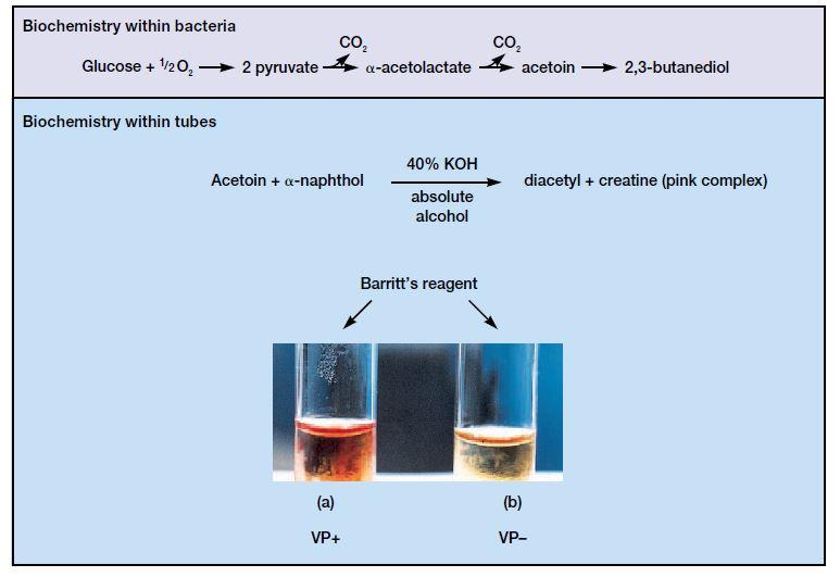 Methyl Red and Voges Proskauer Test