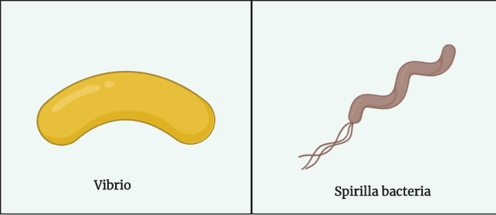 Different Size, Shape and Arrangement of Bacterial Cells