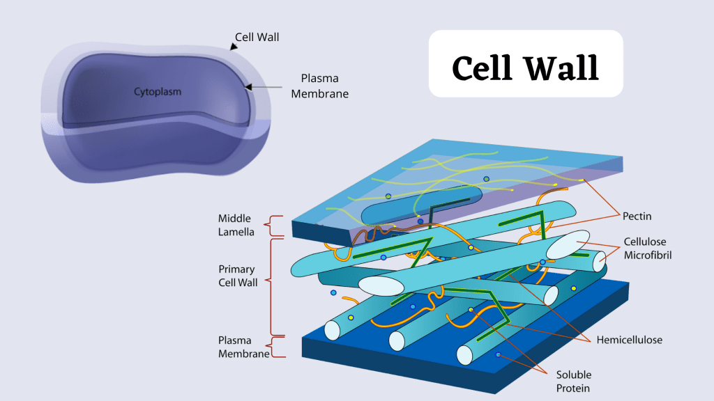 Cell Structure and functions - Cell Wall