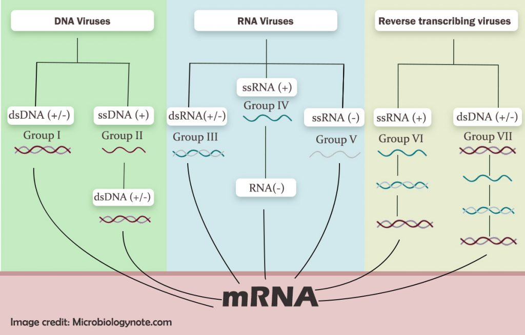 Baltimore classification System of viruses