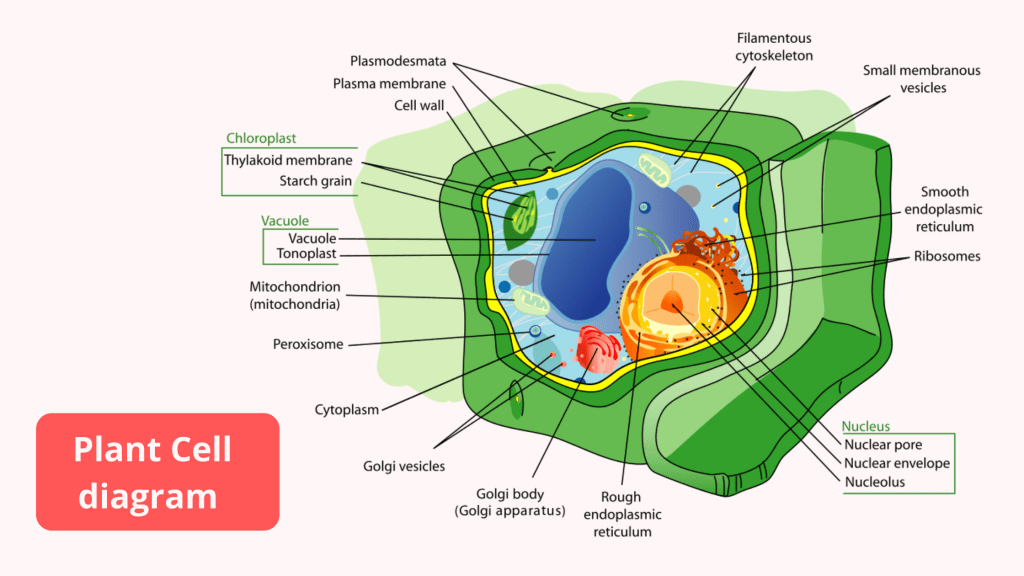 Prokaryotic Cell and Eukaryotic Cell - Plant Cells