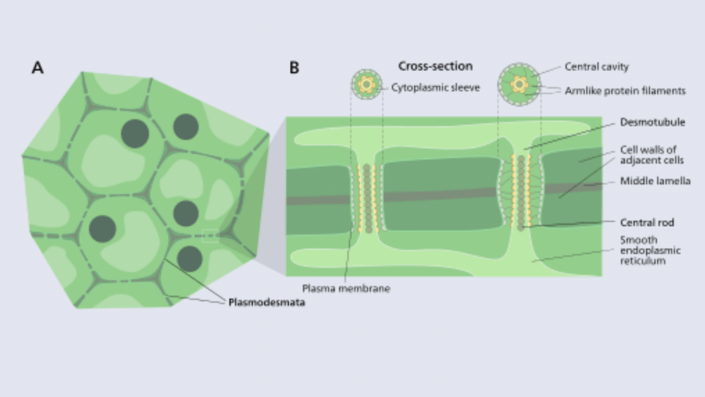 Cell Structure and functions - Plasmodesmata