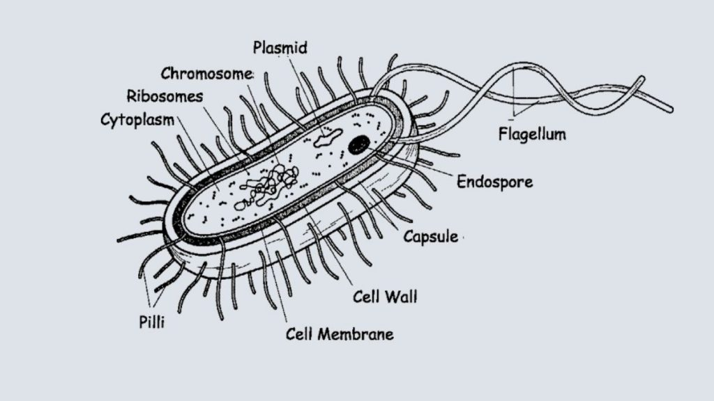 What is bacteria