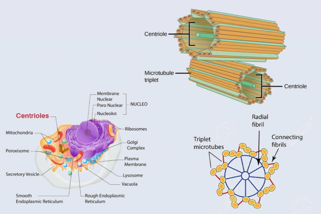 Cell Structure and functions - Centriole