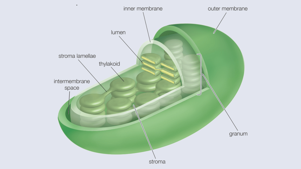 Cell Structure and functions - Chloroplast
