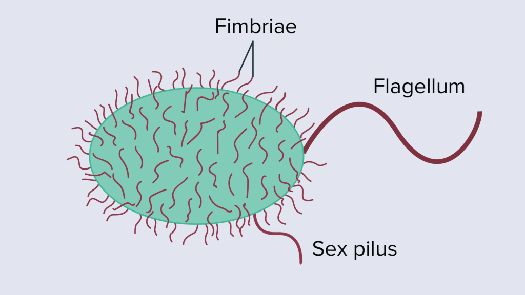 Cell Structure and functions - Fimbriae