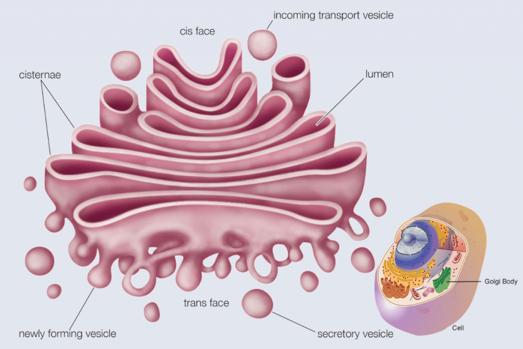 Cell Structure and functions - Golgi Complex