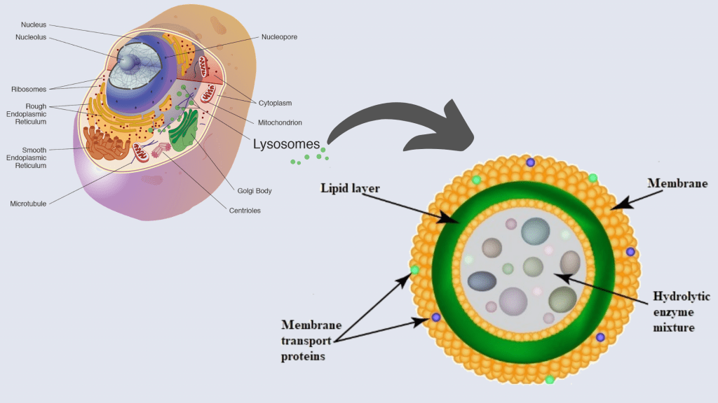 Cell Structure and functions - Lysozyme