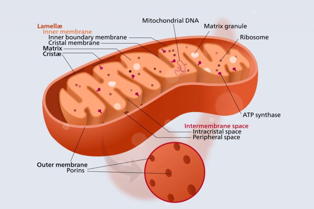Cell Structure and functions - Mitochondria