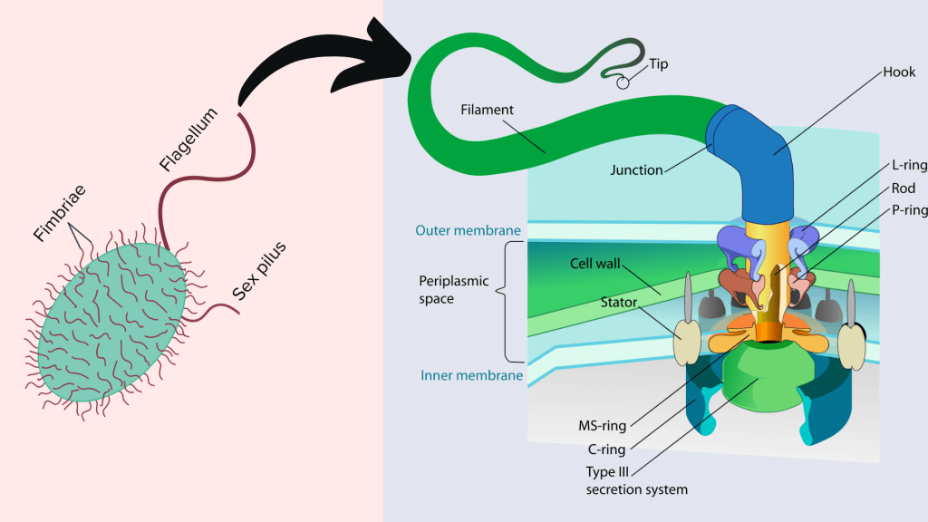 Cell Structure and functions - Flagella