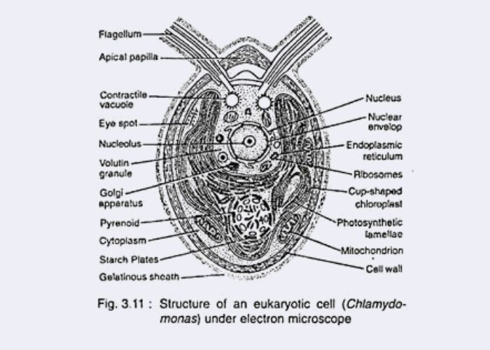 Cellular Structure of Algae - eukaryotic Cell