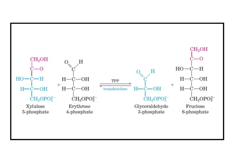 Non-oxidative Phase of PPP