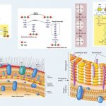 Bacterial Cell Wall Composition and Structure