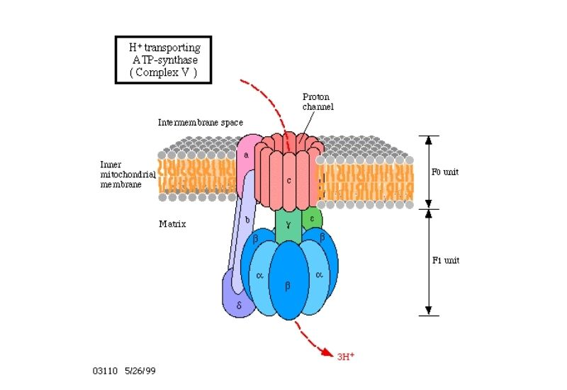 ATP Synthase  Diagram