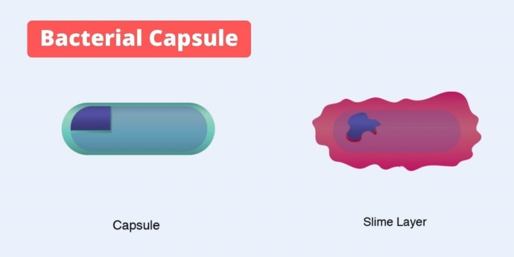 Bacterial Capsule: Definition, Functions, Composition, Types, Demonstration, and examples.