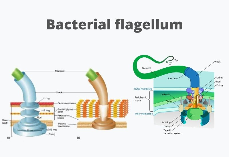 Bacterial Flagella: Definition, Structure, Types, Functions, Rotation, Examples.