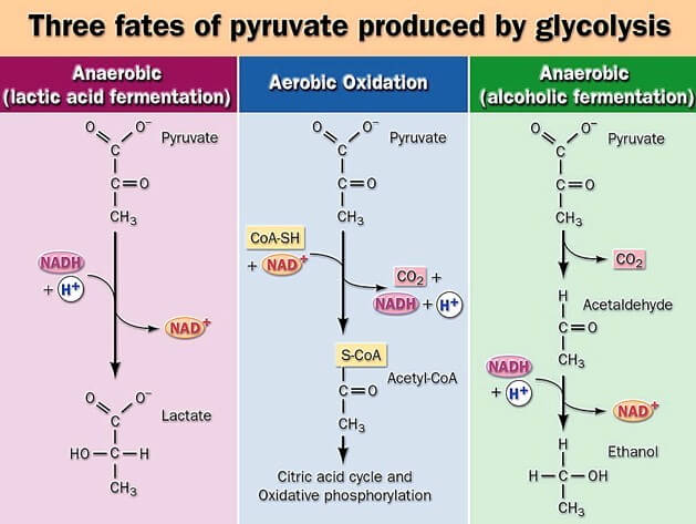 Fate of Pyruvate: Acetyl CoA, Lactate, Alcohol Formation.