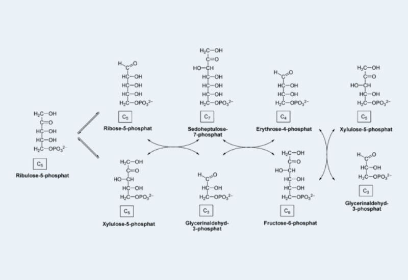 Pentose Phosphate Pathway: Definition, Importance, Steps.