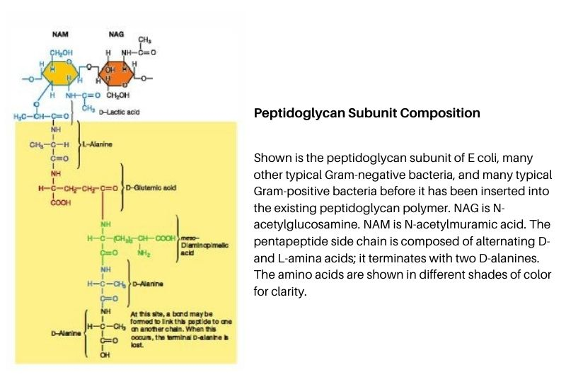 cell wall structure - Peptidoglycan subunit