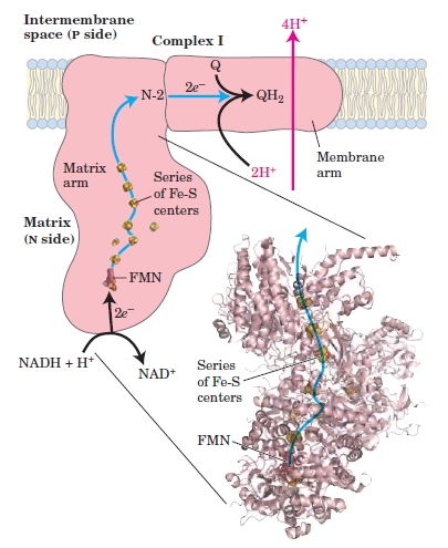 Complex I of Electron Transport Chain