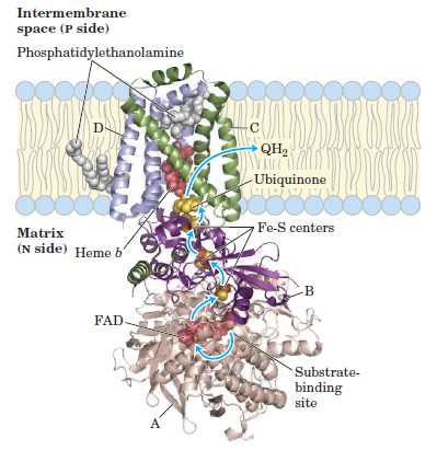 Complex II of Electron Transport Chain