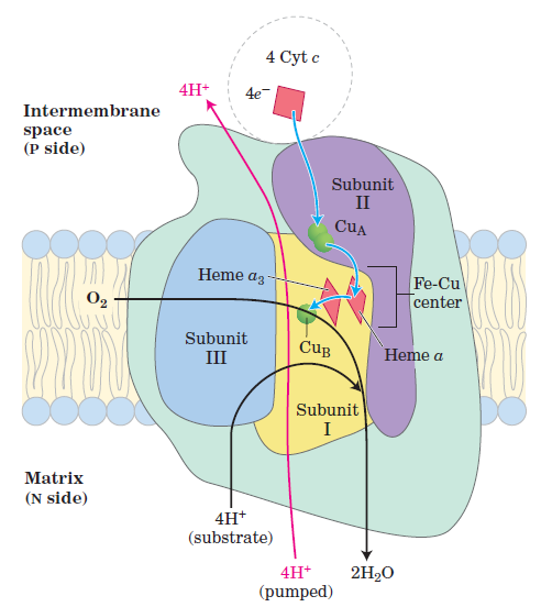 Complex IV of Electron Transport Chain