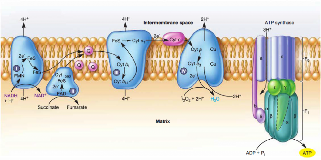 Electron Transport Chain Steps