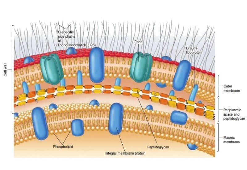 cell wall structure of gram-negative bacteria