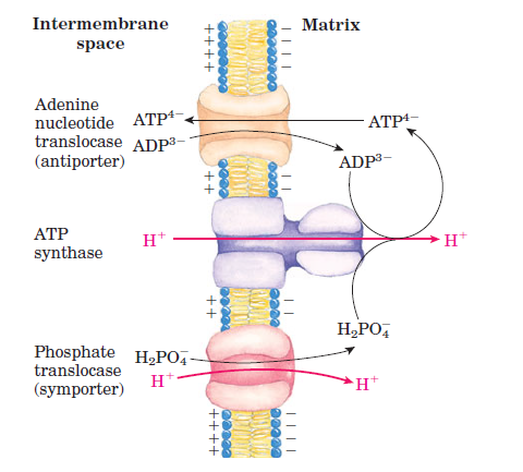 Mitochondrial Shuttles and Transporter Protein