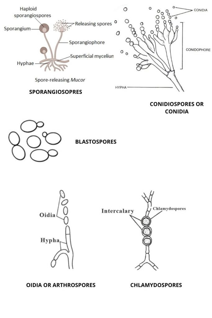 Asexual Reproduction of Fungi