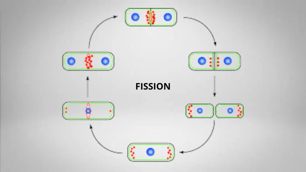 Fission of Schizosaccharomyces