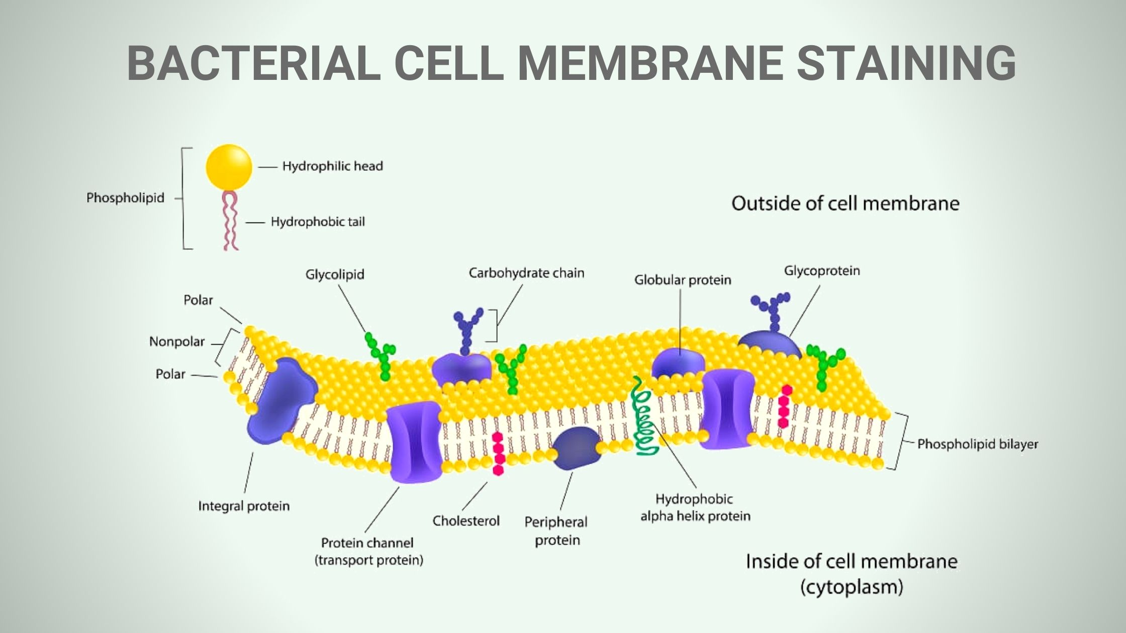 BACTERIAL CELL MEMBRANE STAINING