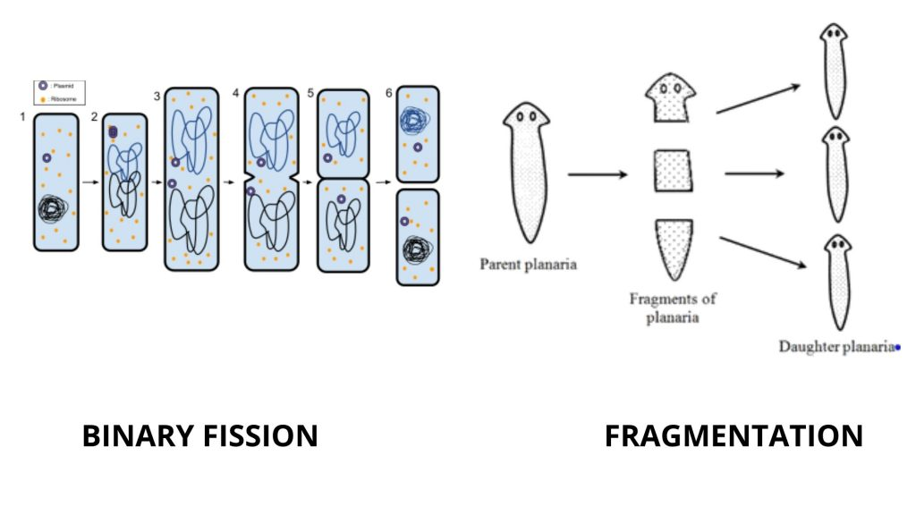 Binary fission and fragmentation