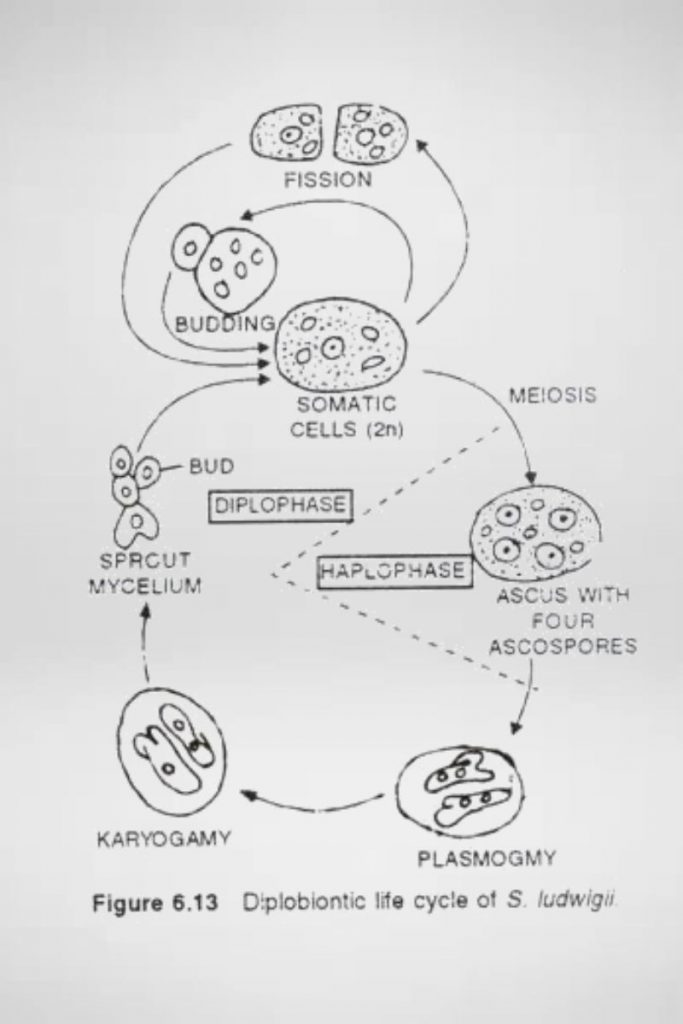 Diplobiontic cycle of Schizosaccharomyces