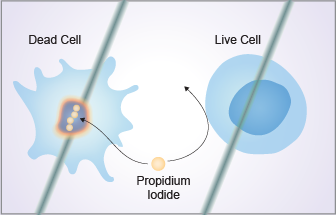 Flow Cytometry Laboratory for cell viability staining using propidium iodide.