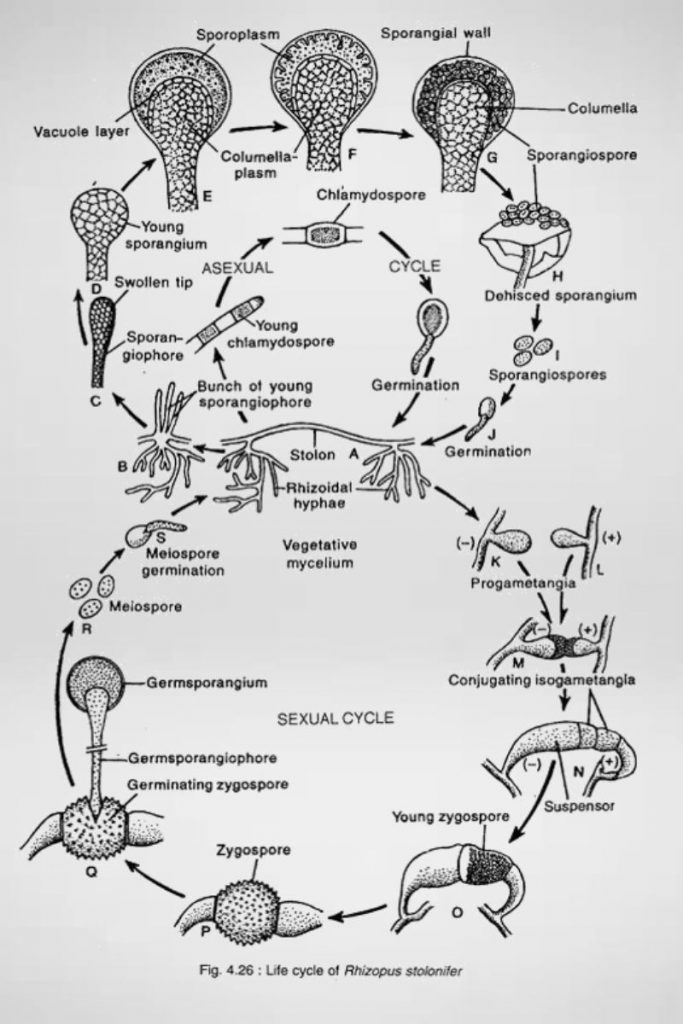 Reproduction or Life cycle of Rhizopus stolonifer