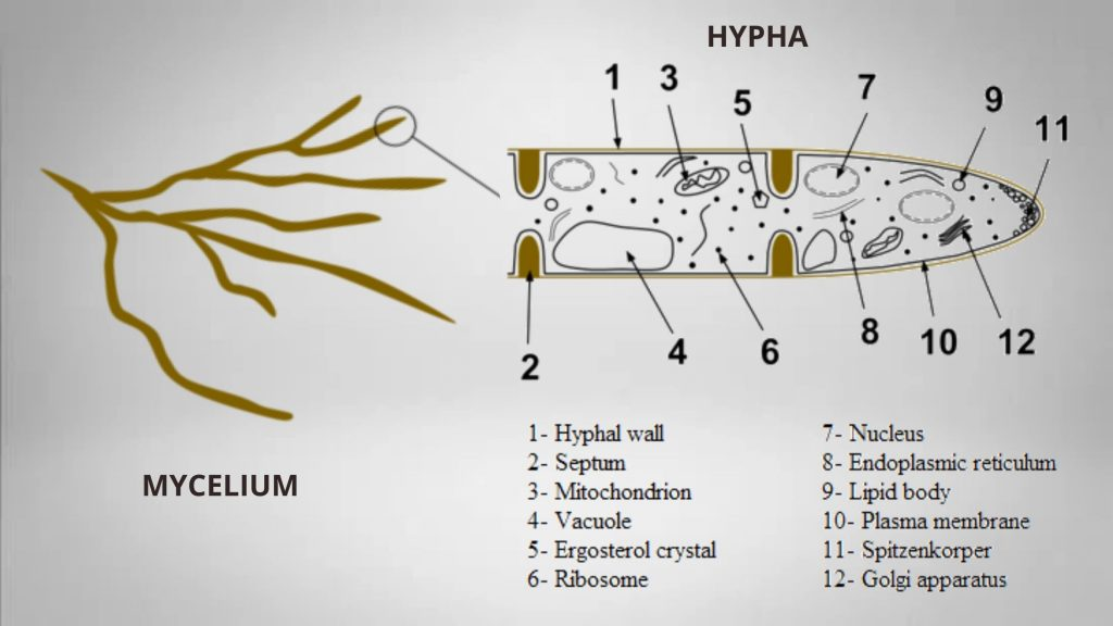 Structure of hypha