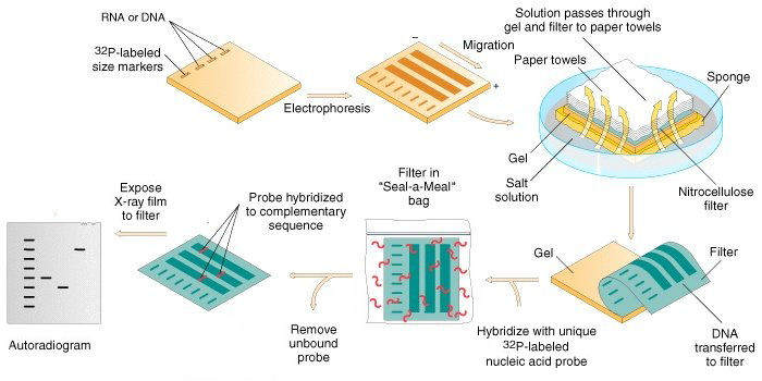 Analysis of DNA by the Southern Blot technique