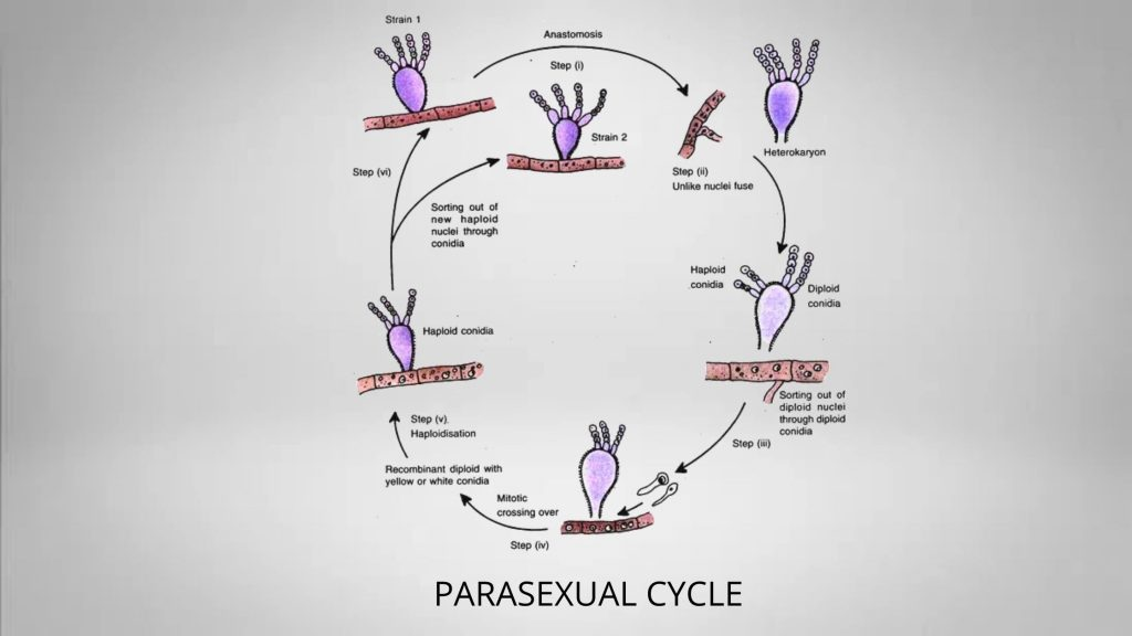 Parasexual cycle of Fungi