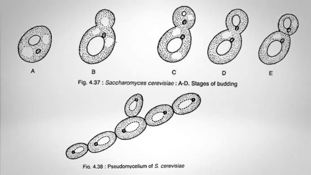 budding process of Saccharomyces cerevisiae
