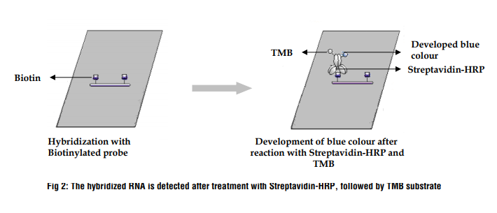 The hybridized RNA is detected after treatment with Streptavidin-HRP, followed by TMB substrate