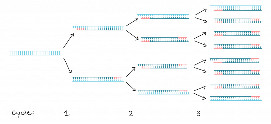 Polymerase chain reaction cycle