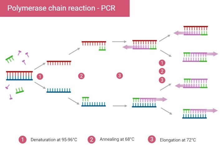 Polymerase chain reaction steps
