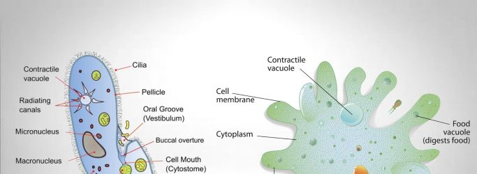 Protozoa Structure and Locomotor Organelles