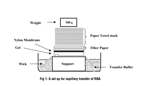 Northern Blot: A set up for capillary transfer of RNA
