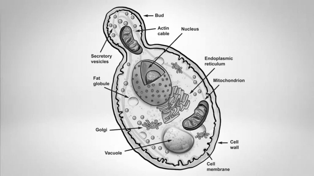 Structure of Saccharomyces cerevisiae