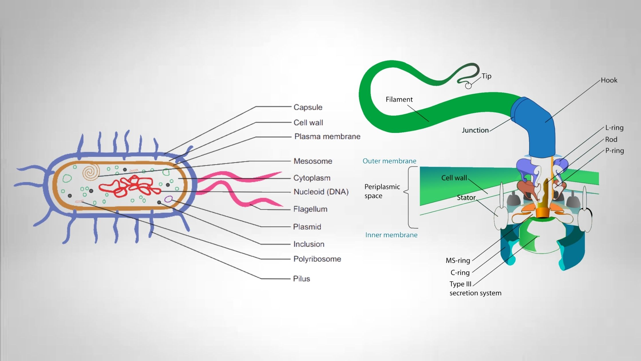 20 Differences between Pili and Flagella