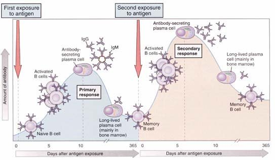 14 Differences between Primary and Secondary Immune Response